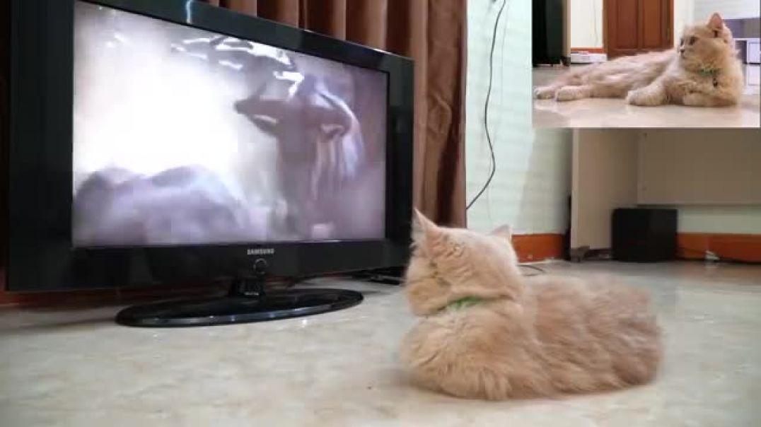 Kitten_watching_Mufasa_Death_scene_in_The_Lion_King_(2019)(360p)